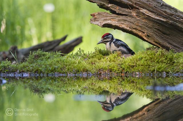 Grote Bonte Specht / Great Spotted Woodpecker (juveniel)