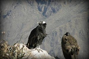 condor-flora-fauna-canyon-del-colca-arequipa