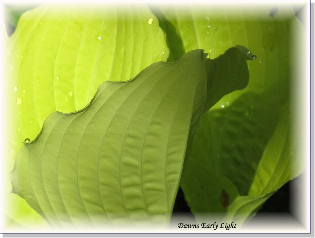 Hostas Only 1 (14)