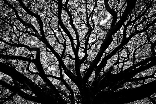 the tree and light - monochrome hawaii series