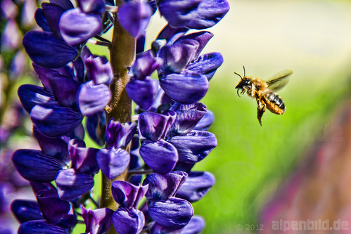 Purple Lupine and  a busy Bee