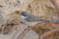Hume's Whitethroat (1st winter)