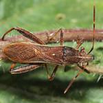 görbelábú tövispoloska - Camptopus lateralis
