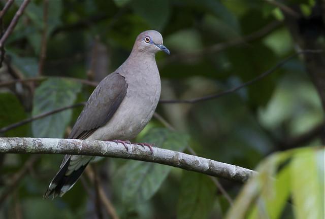 Imagen de una de las aves del Quindio: Caminera Rabiblanca (Leptotila Verreauxi)