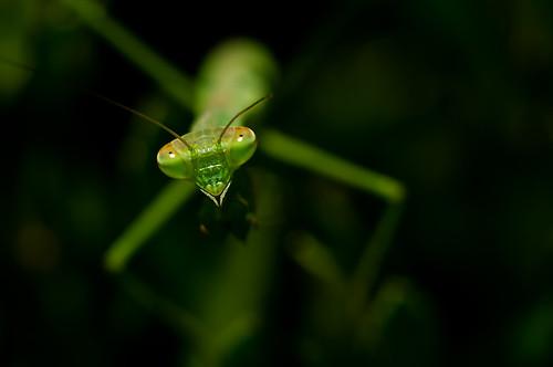 無料写真素材, 動物 , 昆虫, カマキリ