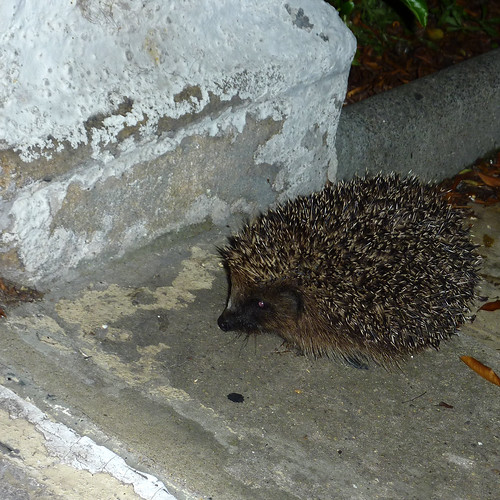 doorstepped by a hedgepig by moclaydon