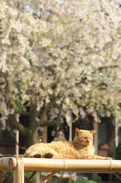 春の谷中フォトウォーク ネコ 2014年4月10日