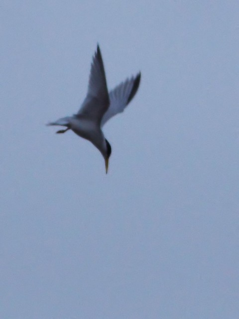 Least Tern diving 20140416