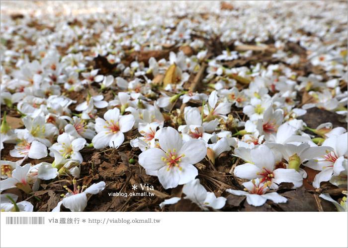 【彰化油桐花】福田桐花生態園區~雪白花毯!每年都會想再回訪的賞桐景點14