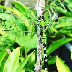 #Garden buddy!  #dragonfly