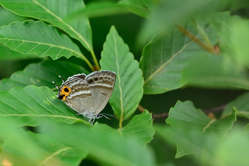フジミドリシジミ / Sibataniozephyrus fujisanus / The Fujisan Green Hairstreak