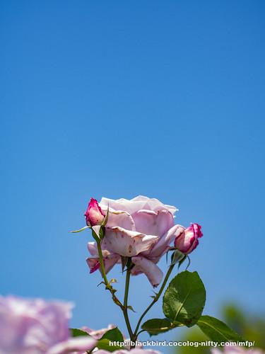 Rose & Blue sky #05