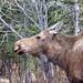 Moose sniffs air to sense any danger by JLS Photography - Alaska