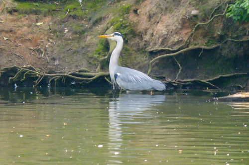 Hunting, catching: heron after prey, West Park