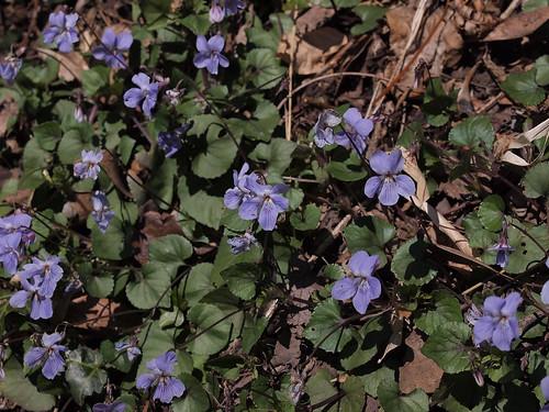 viola-grypoceras05