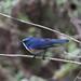 Himalayan Bluetail/Orange-flanked Bush Robin. Eaglenest Wildlife Sanctuary (6 Apr 2012)