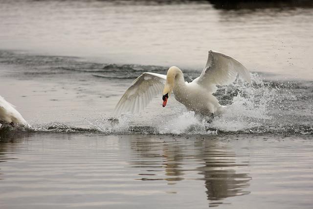 swan dive swan dive flickr photo sharing
