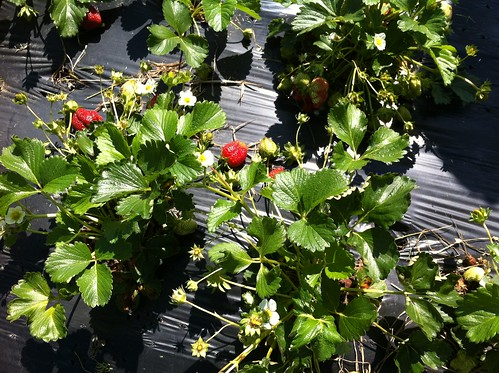 Strawberry Season Starts Early