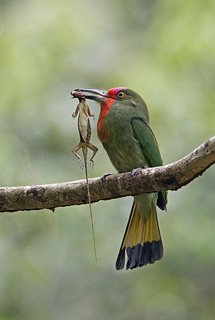 Red Bearded Bee Eater_8201