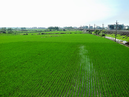 Rice Paddies in Yilan