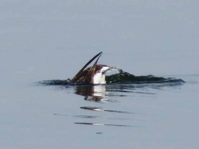 Long-tailed Duck butt