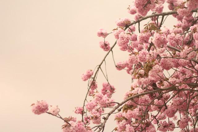 kirsebærtre ii