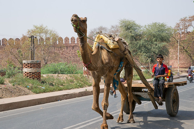 A young boy driving a camel cart in Agra