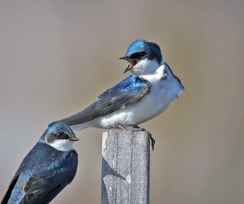 Tree Swallow Pair by JFPescatore
