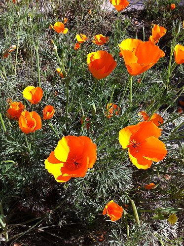 Poppies at Arlington Gardens
