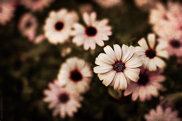 here's a daisy