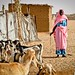 Vaccination and treatment campaign for livestock in Darfur - Sudan