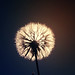 "Week 23/52 ""What I need is the dandelion in the spring"" by Diciembre está al llegar"