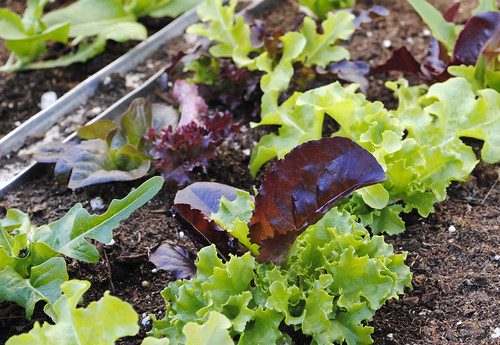Salad Greens: Seeds Worth Sowing