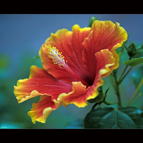 Brilliant Hibiscus by -clicking-
