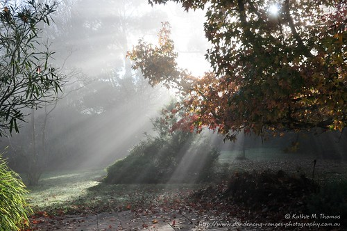 Early winter morning by the Liquidamber