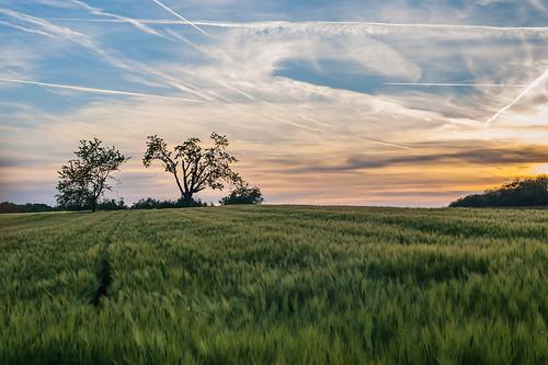 無料写真素材, 自然風景, 田園・農場, 草原, 朝焼け・夕焼け, 飛行機雲