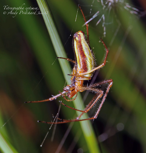 Tetragnatha extensa_5248 by Andy Pritchard - Barrowford