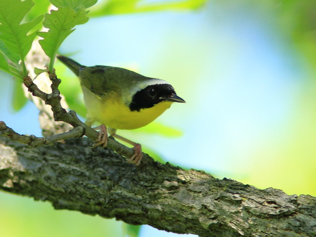 Common Yellowthroat 20120511