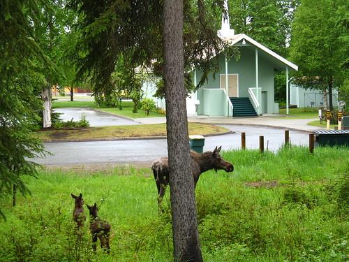 Church Moose Babies