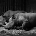 Chester Zoo   Let Sleeping Rhinos Lie by _nod