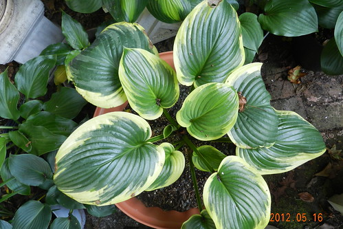 Hosta 'Fragrant King'