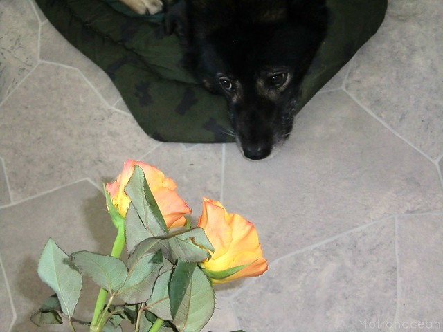 Two roses and a dog