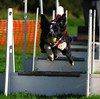 Charlie - Flyball