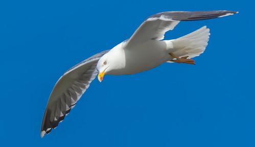 [フリー画像素材] 動物 2, 鴎・カモメ, 鳥類 - 飛ぶ ID:201206030400