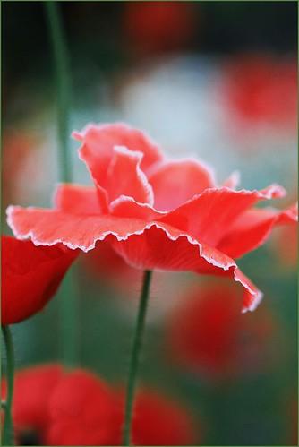 Poppy 2 by T.takako