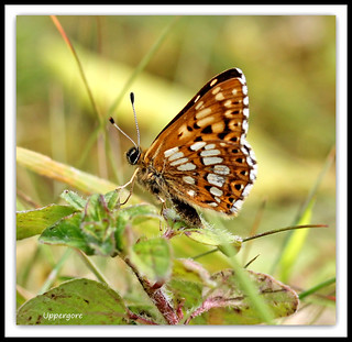 Duke of Burgundy  ( side on )