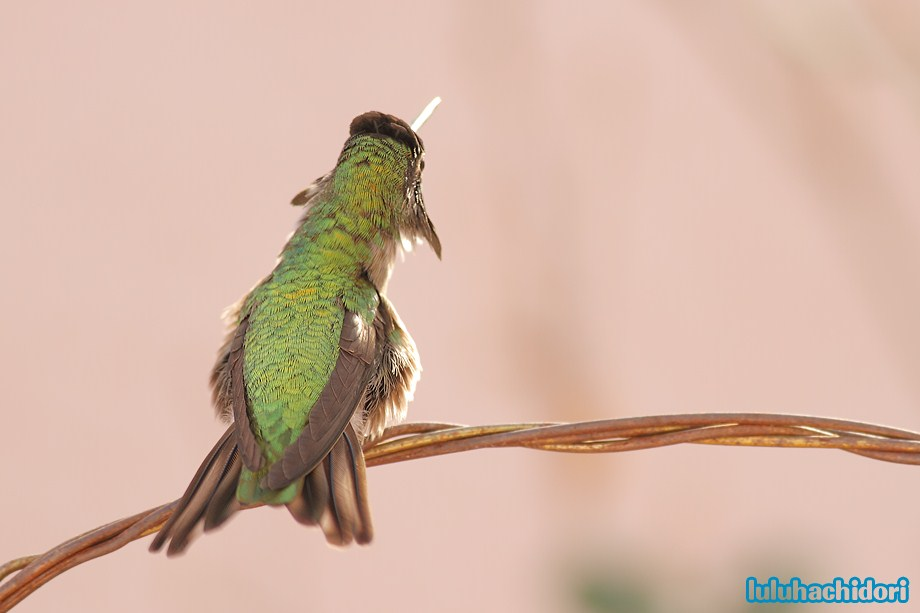 Anna's Hummingbird 052412-5