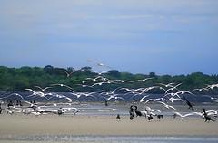 Gulls_0160