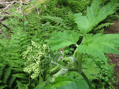 produce(0.0), food(0.0), urtica(0.0), vascular plant(1.0), fern(1.0), flower(1.0), leaf(1.0), plant(1.0), herb(1.0), ostrich fern(1.0),