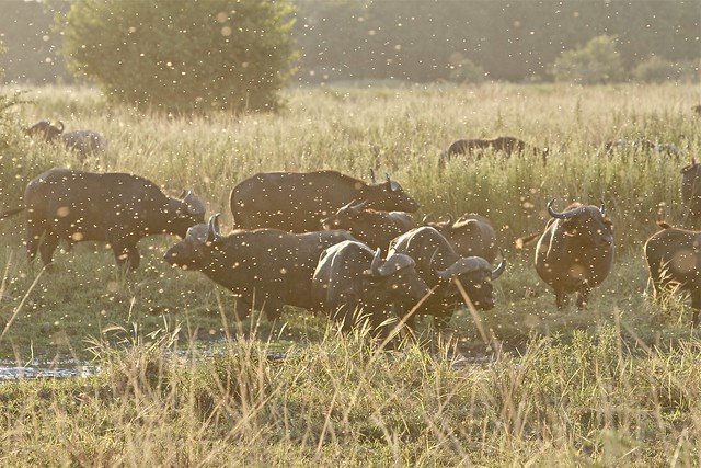 Buffalo and a swarm of flies | Flickr - Photo Sharing!